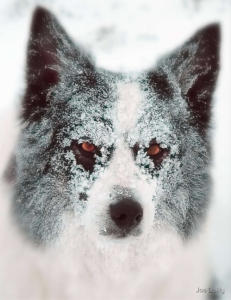 Ice Cool Collie by Joe Dailly