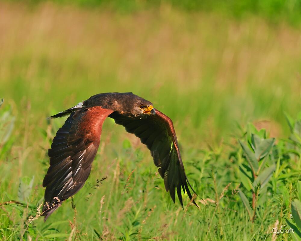 Harris's Hawk in flight by Cycroft
