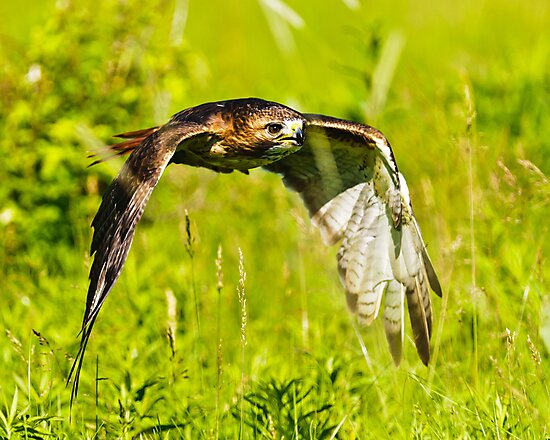 Red-tailed Hawk by Cycroft