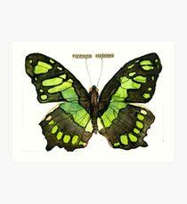 Siproeta Stelenes (Malachite Butterfly) Art Print