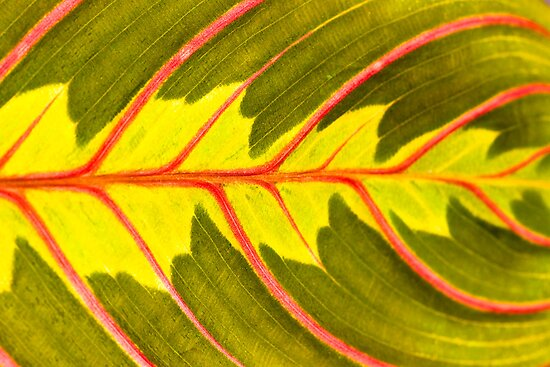 Prayer Plant (Maranta leuconeura) by Gabor Pozsgai