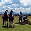 Clydesdale Pair competing - Driving Day, Trafalgar by Bev Pascoe