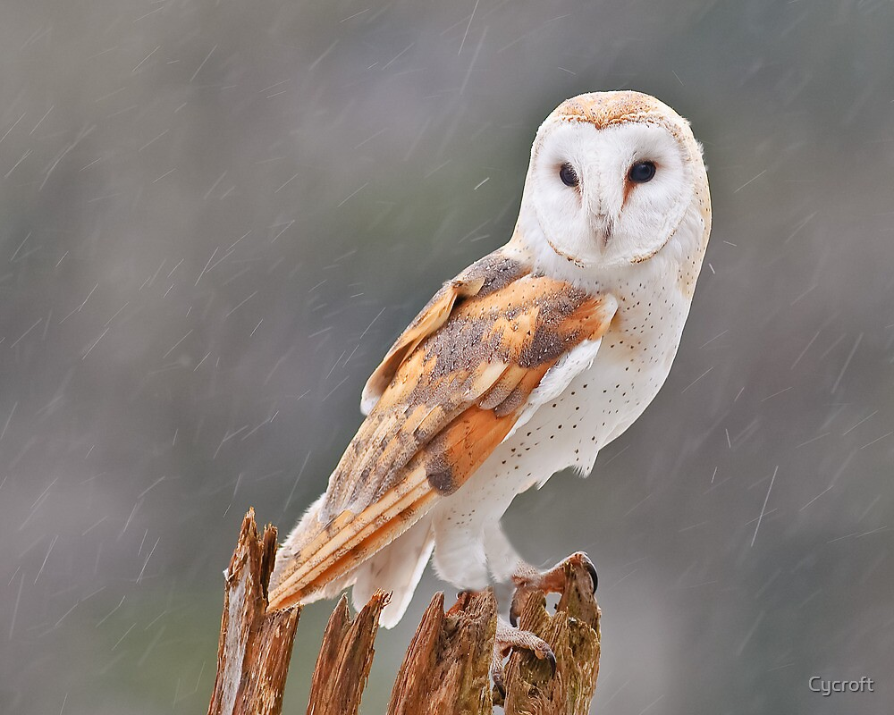 Quot Barn Owl Quot By Cycroft Redbubble