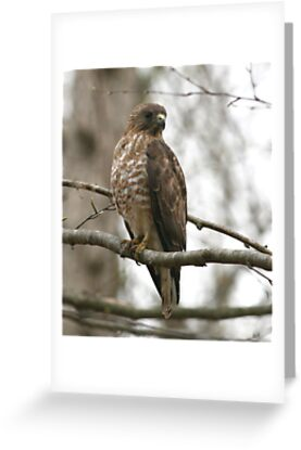 Broad-Winged Hawk  by Enola Wagner