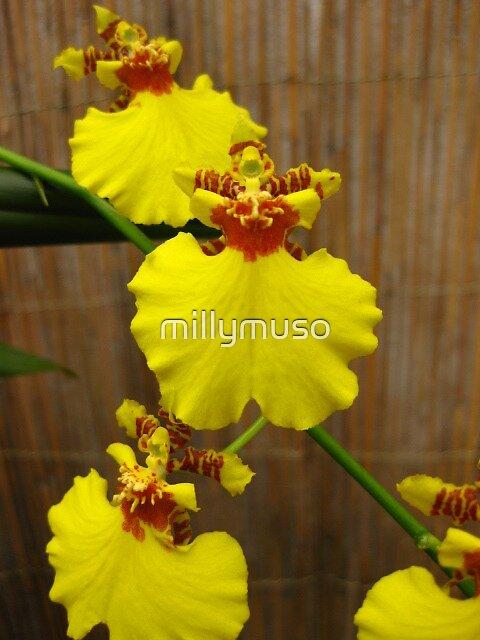 Oncidium hybrid by millymuso