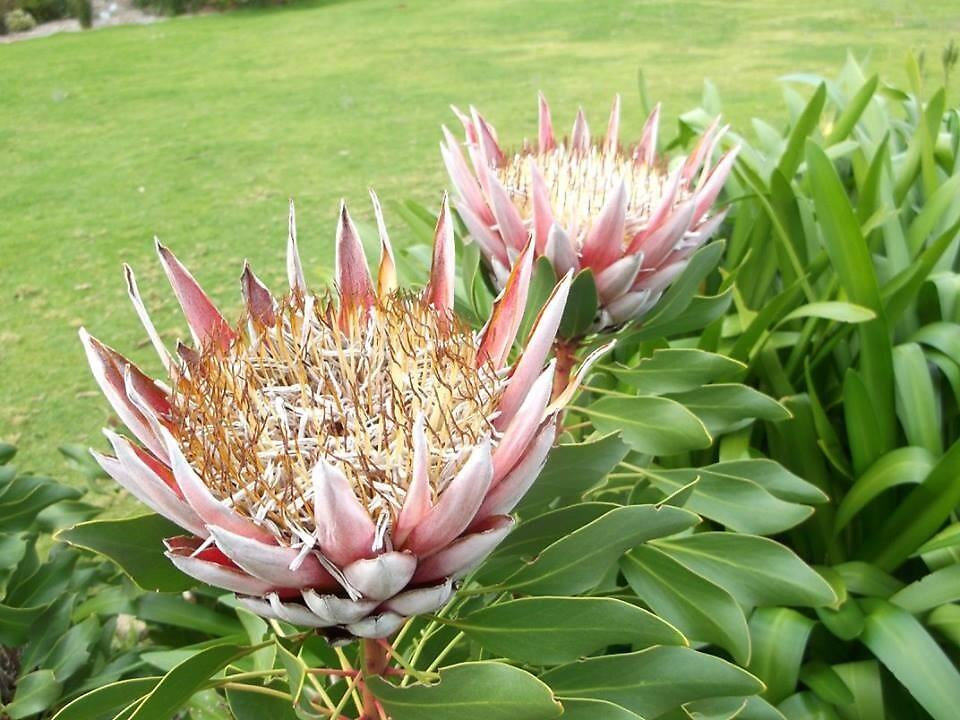 "Protea Cynaroides ""King Protea"" Red by sbrosszell"