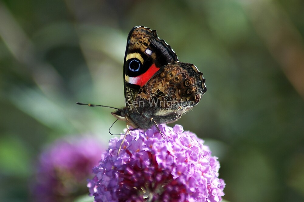 Red Admiral 2 by Ken Wright