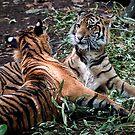 Sumatran Tigers by Tom Newman