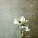 Helleborus ... by BertaDrost