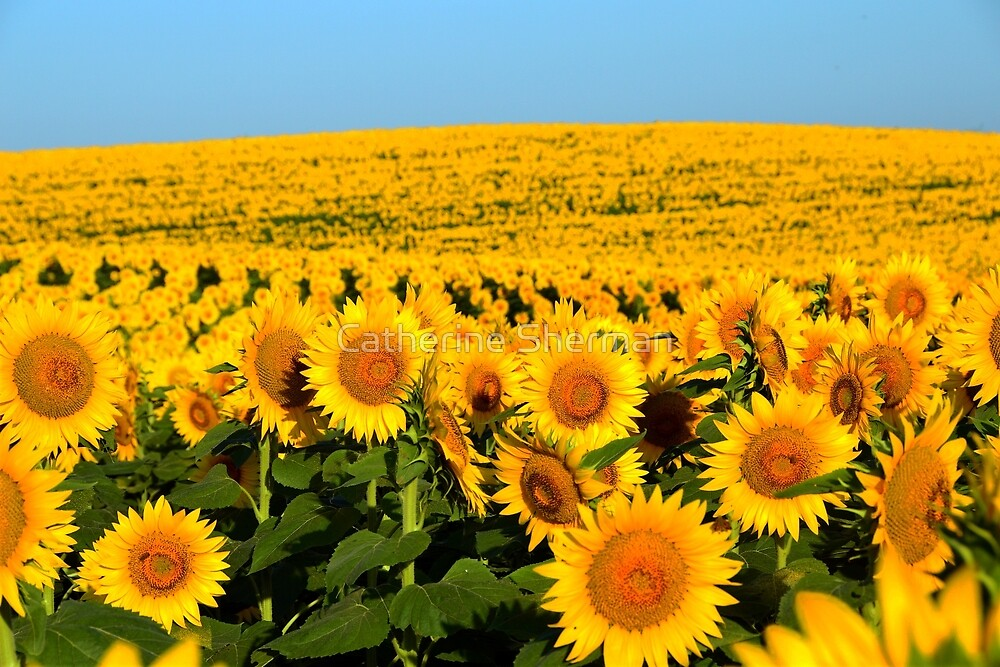 Endless Sunflowers by Catherine Sherman
