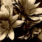 Sepia Daisies by khadhy