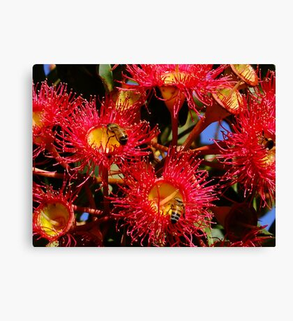 Australian Red Flowering Gum Canvas Print