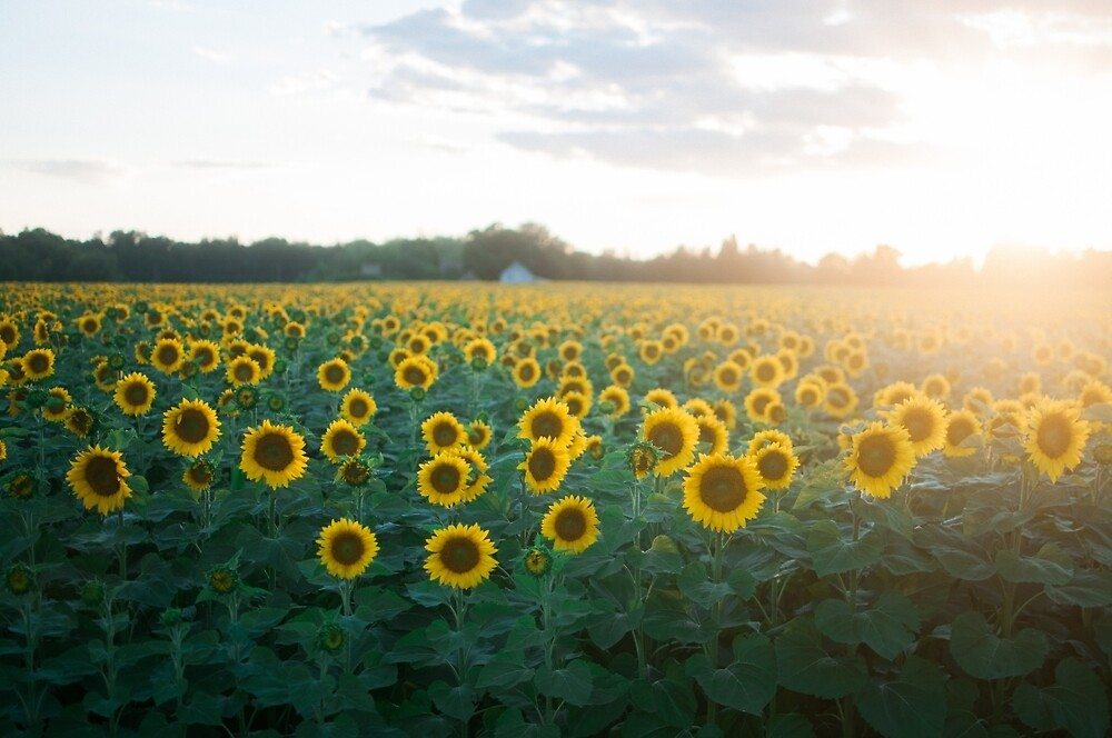 Sunflower Fields by chelseavictoria