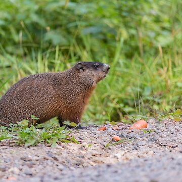 The Beaver in the wild by josefpittner