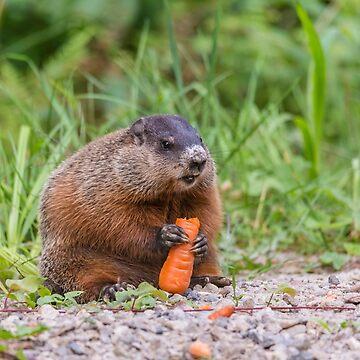 The Beaver feeding on a carrot by josefpittner