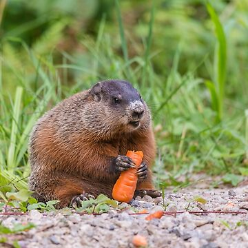 The Beaver and the carrot by josefpittner