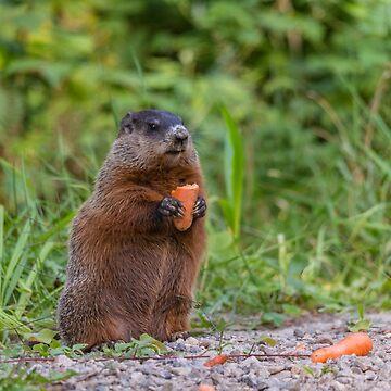 The Beaver eating a carrot by josefpittner
