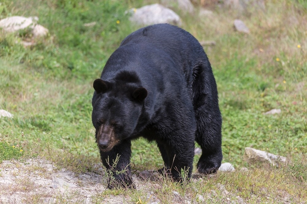 A large Black Bear by Josef Pittner