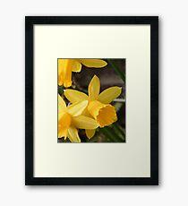 Spring Daffies Framed Print