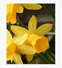 Spring Daffies Photographic Print