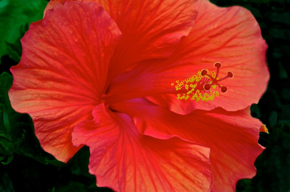 One of my garden Hibiscus blooms by Ann Reece