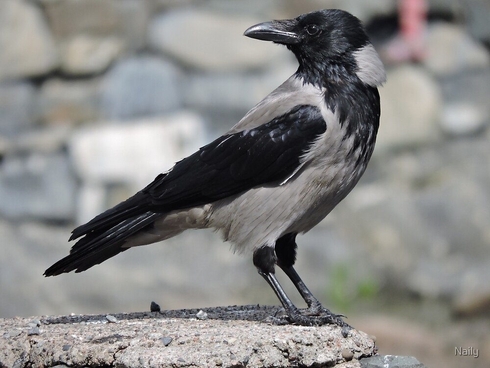 Hooded crow by Naily