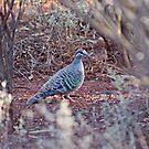 Common Bronzwing, Kalgoorlie. West Australia by robynart