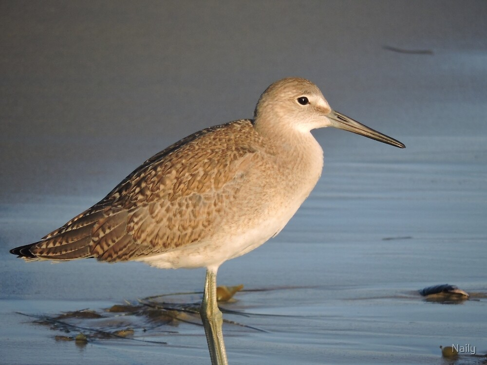 Willet by Naily