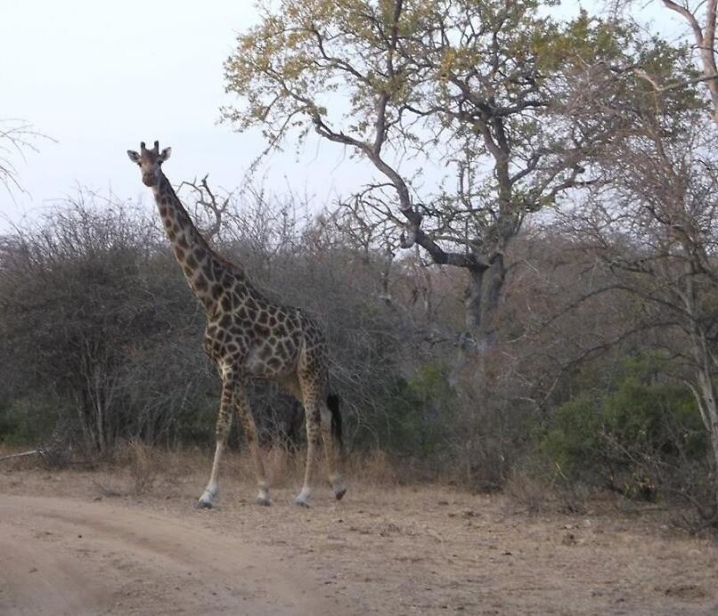 Giraffe, Limpopo, South Africa by sbrosszell