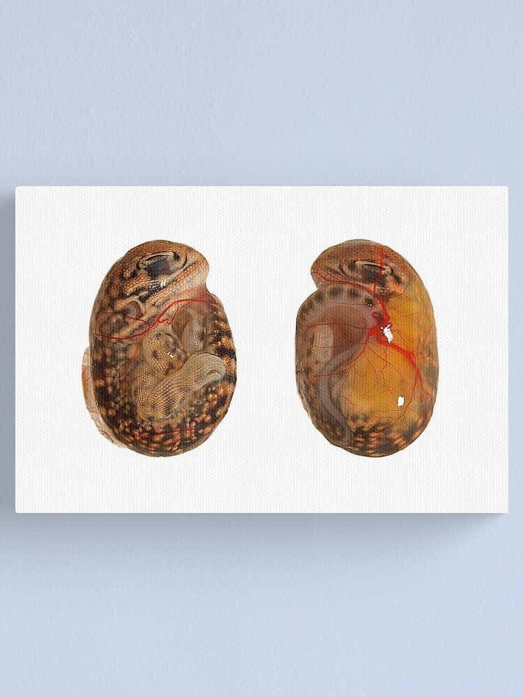 Alternate view of Central Netted Dragon Embryo Canvas Print