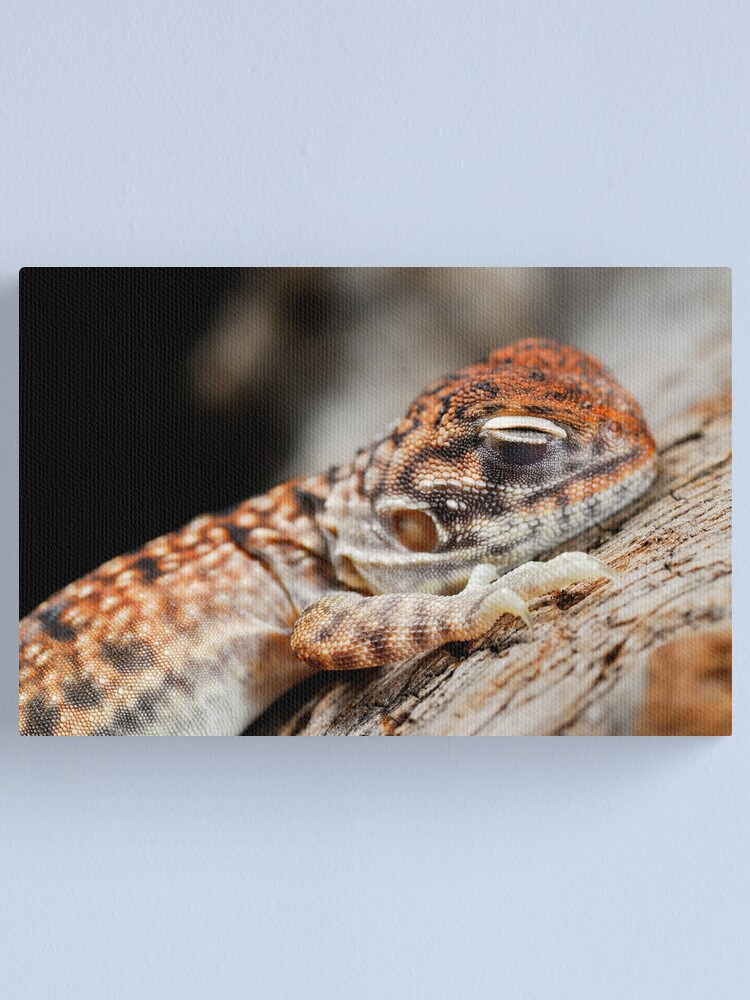 Alternate view of Central Netted Dragon Sleeping Canvas Print
