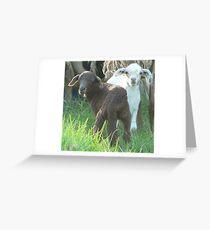 Twin Female Lambs Greeting Card