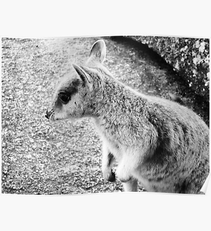 Mareeba Rock Wallaby Poster