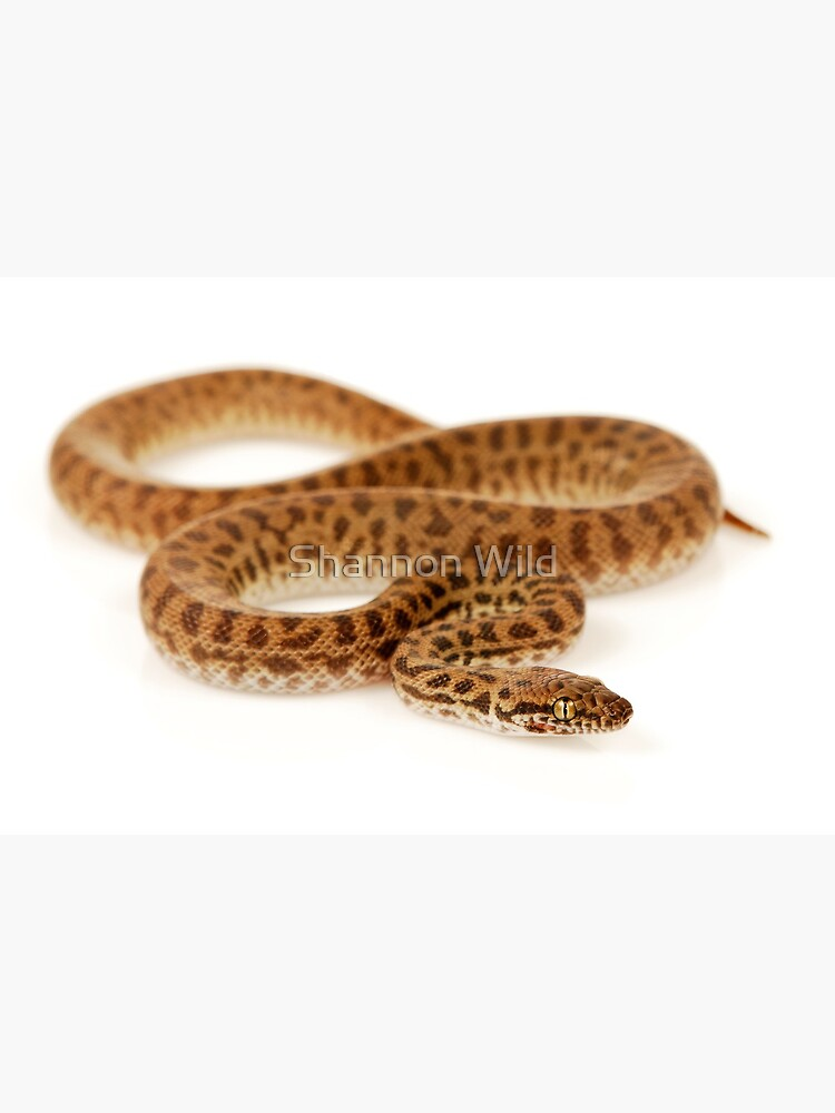 Children's Python (Antaresia childreni) by ShannonPlummer