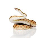 Reduced Pattern Gold Stimson Python (Antaresia stimsoni) by Shannon Wild