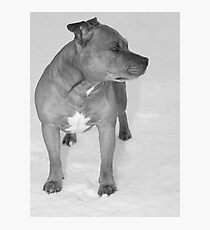 Staffie in the snow Photographic Print