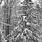 Pine Tree in the Snow by Edward Myers