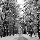 Maine Deep Winter Woods - Tall Trees by Christy  Bruna