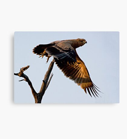 Tawny Eagle In Flight Canvas Print