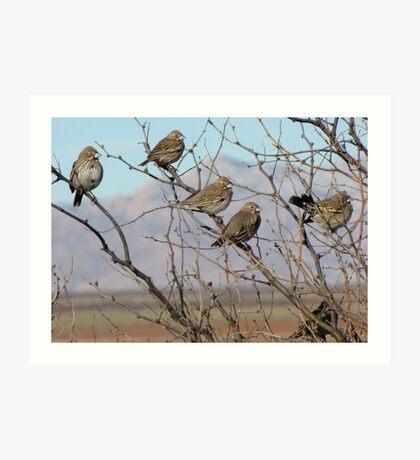 Lark Buntings ~ Non-breeding Adult males (Bachelor Club) Art Print