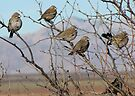 Lark Buntings ~ Non-breeding Adult males (Bachelor Club) by Kimberly Chadwick