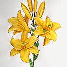 Yellow Lillys by jsalozzo