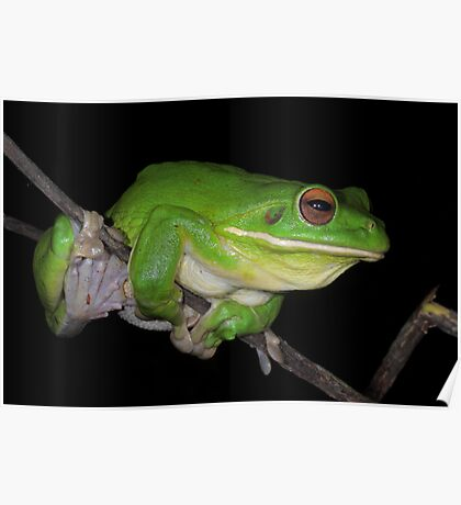 White-lipped Tree Frog Profile Poster