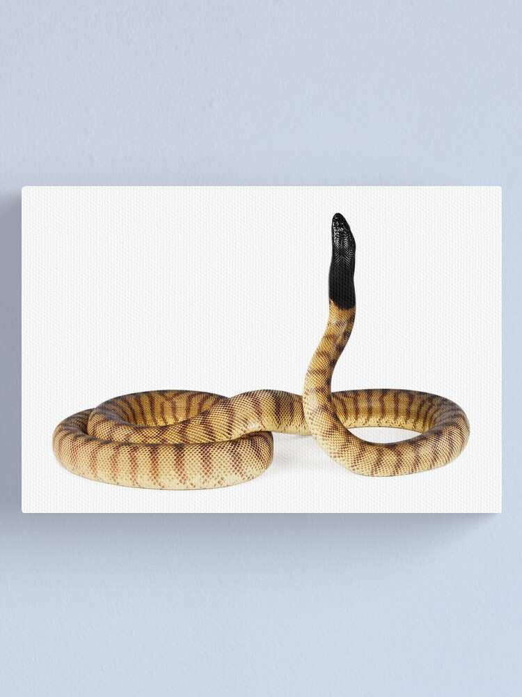 Alternate view of Black-headed Pythons (Aspidites melanocephalus) Canvas Print