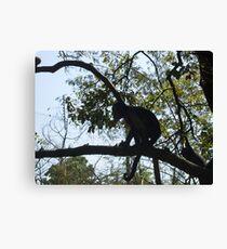 Capuchin monkey, Gauteng, South Africa Canvas Print