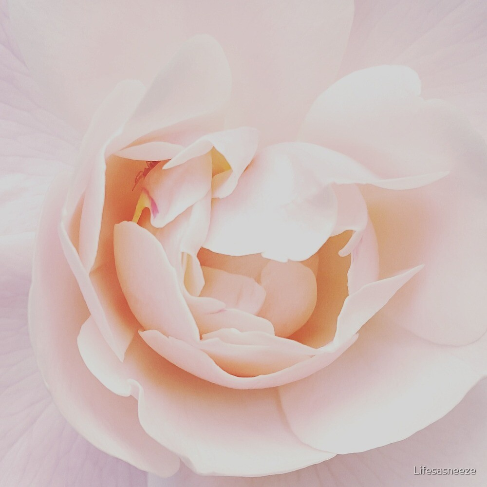 Soft English Rose by Lifesasneeze