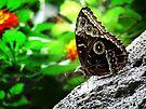 Blue Morpho Butterfly  by Marcia Rubin