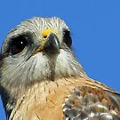 Red shouldered hawk  straight on! by Anthony Goldman