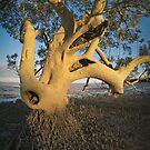mangrove in roebuck bay by col hellmuth