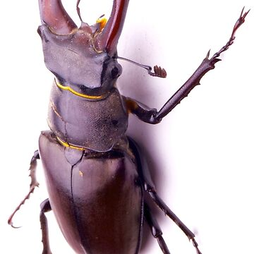 Kite, stag beetle by JeanLender